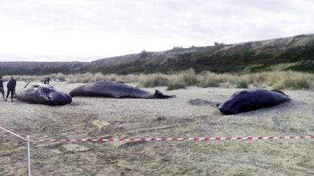 I tre esemplari di capodoglio spiaggiati